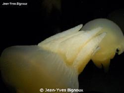 Jelly Fish Victoria Australia by Jean-Yves Bignoux