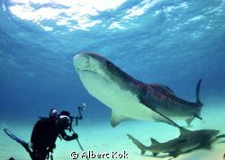 tiger shark posing for UW photographer by Albert Kok