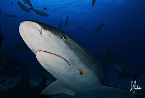 Swimming by camera this Reef Shark nose what's up!Another... by Steven Anderson
