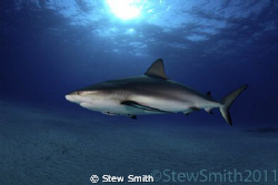 A patrolling Caribbean Reef Shark passes by with an inqui... by Stew Smith