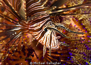 Juvenile lionfish sheltering amongst the spines of a fire... by Michael Gallagher