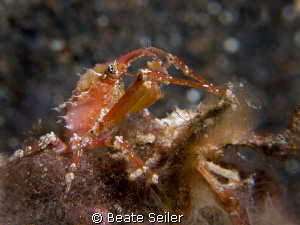Very small crab on a nigt dive , Taken with Canon G10 and... by Beate Seiler