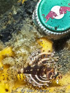 Tiny scorpionfish by Alex Varani