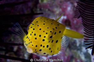 Boxfish by Christine Hamilton