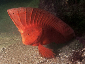 Red Indian Fish Bare Island