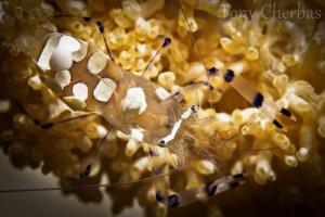 Popcorn Shrimp by Tony Cherbas
