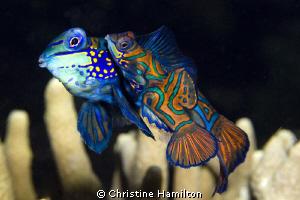 Mandarinfish with  Eggs by Christine Hamilton