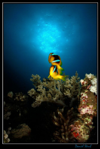 Clownfish - shortly after this picture has been taken, we... by Daniel Strub