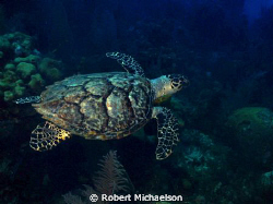 This hawksbill turtle looks like it is having just too mu... by Robert Michaelson