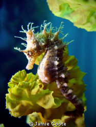 """"""" The King and I """" A Short-Head Seahorse at Tumby Bay je... by Jamie Coote"""