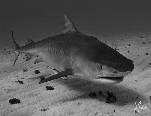 Emma the beautiful Tiger Shark makes her way to the float... by Steven Anderson