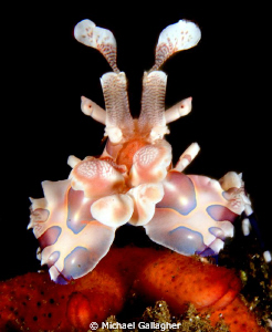 Harlequin shrimp, PNG by Michael Gallagher