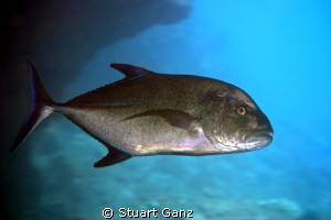 Ulua on dawn patrol by Stuart Ganz