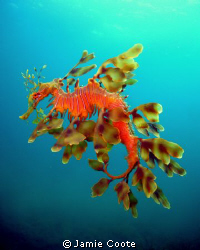 """""""Fatherly Duties"""" A male Leafy Sea Dragon laden with egg... by Jamie Coote"""