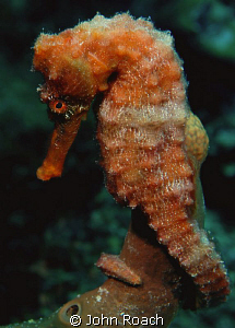 Longsnout Seahorse  ( Hippocampus reidi ) by John Roach