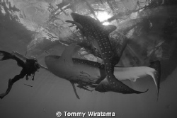 diving with 2 Whale Sharks by Tommy Wiratama