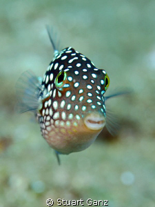 Hawaiian Whitespotted Toby by Stuart Ganz