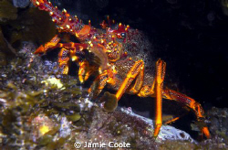 """""""Cray Days"""" A Southern Rock Lobster sitting at the front... by Jamie Coote"""