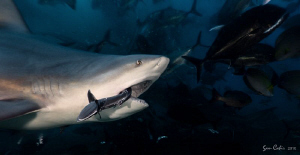'Tough Life'.  Life as a remora in Fiji can be pretty tou... by Sam Cahir