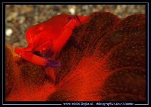 Red Symbiotic Schrimp.... :O)... by Michel Lonfat