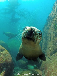 sea ​​lion portrait (no flash) by Marco Caraceni