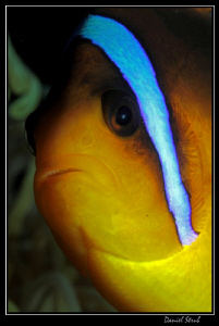 close portrait of a clownfish :-D by Daniel Strub