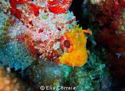 Scorpionfish! by Elia Correia