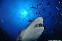 Bull Shark - Beqa Lagoon FIJI Nikon D90 - Nikkor 10.5mm ... by Tatiana Samuel