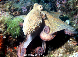 Octopus facing the UW photographer by Albert Kok