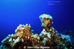 Reef at Mon Choisy Mauritius Coral growths at 20 metres C... by Jean-Yves Bignoux