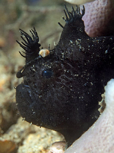 Black Anglerfish. Chowder Bay, Sydney Harbour by Doug Anderson
