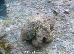 Common octopus; Taken at Maho Bay, St. John, USVI by Mark Reasor
