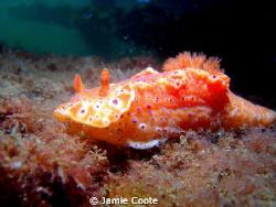 """""""Nice Nudi"""" Orange Nudibranch by Jamie Coote"""