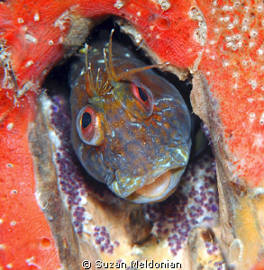 Little Seaweed Blenny minding it's eggs in a cubby hole. by Suzan Meldonian