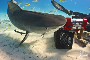 This Tiger Shark has a desire to get the bait in the crat... by Steven Anderson