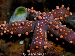 Seastar , taken with Canon G10 and UCL 165 by Beate Seiler