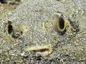 Diodon sp. under sand in Secret Bay by Alex Varani