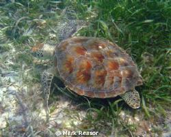 Hawksbill turtle in the waters off St. John, USVI. by Mark Reasor