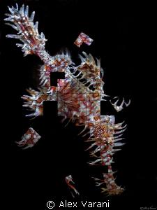Sole-puzzle-nostomus  para-puzzle-doxus by Alex Varani