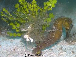 Seahorse Dream by Kent Keller