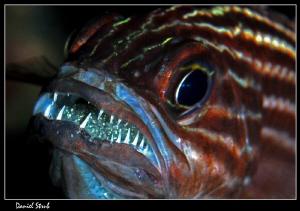 Apogon hatching :-D by Daniel Strub