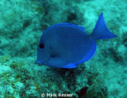 Blue tang; Dory is looking for Nemo in the waters off St.... by Mark Reasor