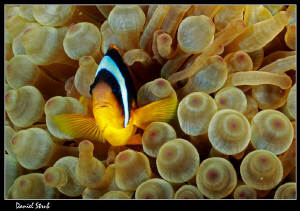 Clown and his symbiotic anemone :-D by Daniel Strub