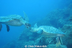 Galapagos (turtle pair) by Chris Miskavitch