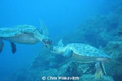 Galapagos (turtle pair) by Chris Miskavitch