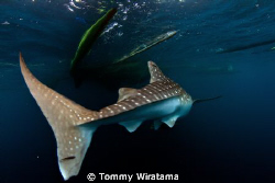 swimming away by Tommy Wiratama