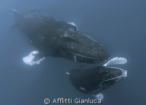 humpback whales in the family by Afflitti Gianluca