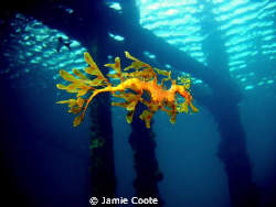 """"""" Jetty life"""" A Leafy Sea Dragon just cruising around it... by Jamie Coote"""