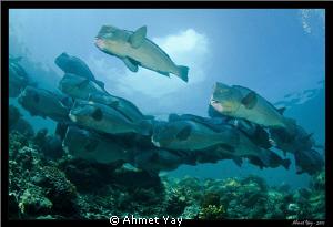 Gang of Bumphead parrotfish... :) by Ahmet Yay