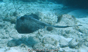 Swimming Stingray by Richard Toward